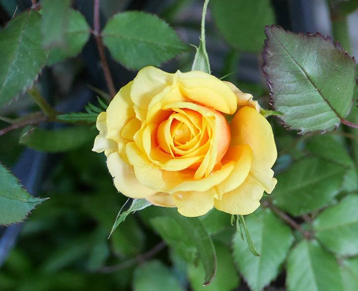 ライズンシャイン(ミニバラ)の花が少し咲いた。2018年-6.jpg