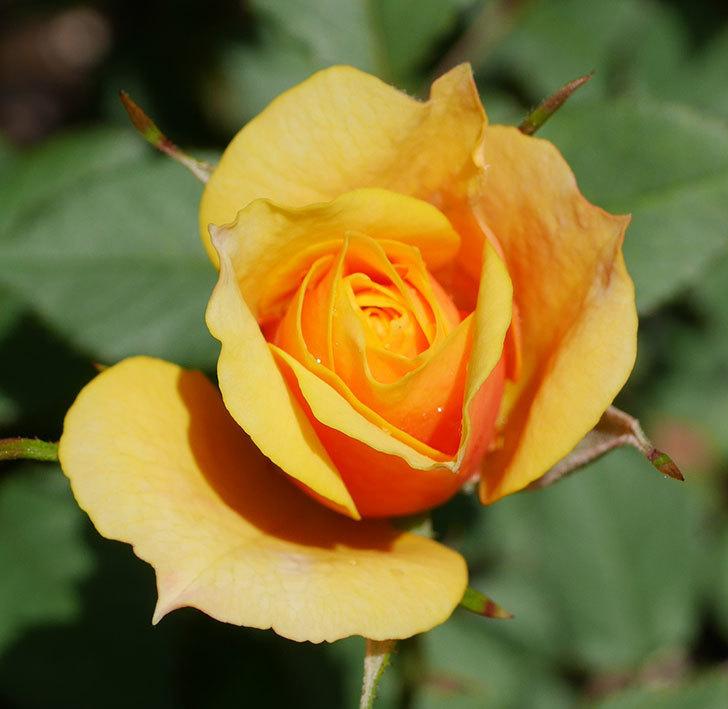 ライズンシャイン(ミニバラ)の花が少し咲いた。2019年-4.jpg