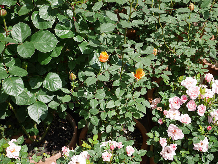 ライズンシャイン(ミニバラ)の花が少し咲いた。2019年-6.jpg