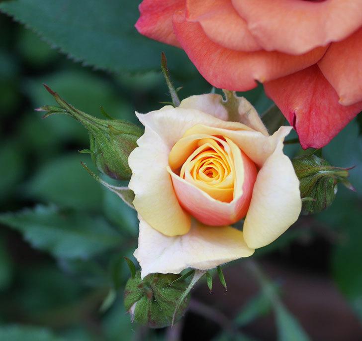 ライズンシャイン(ミニバラ)の花が少し咲いた。2020年-1.jpg