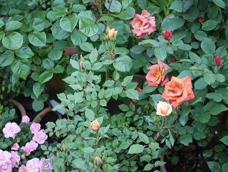 ライズンシャイン(ミニバラ)の花が少し咲いた。2020年-2.jpg