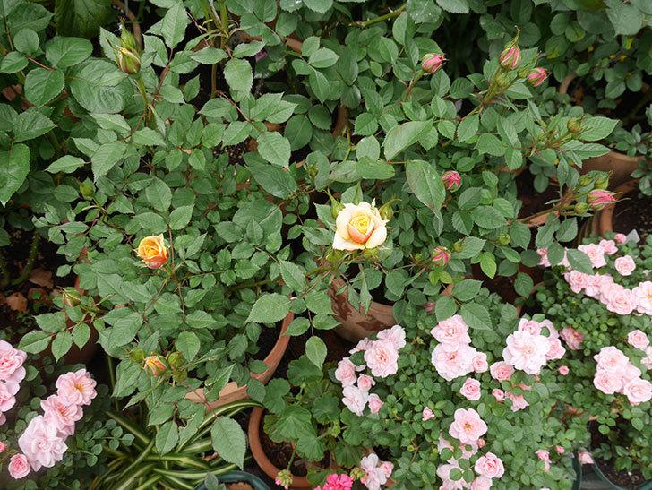 ライズンシャイン(ミニバラ)の花が少し咲いた。2020年-4.jpg