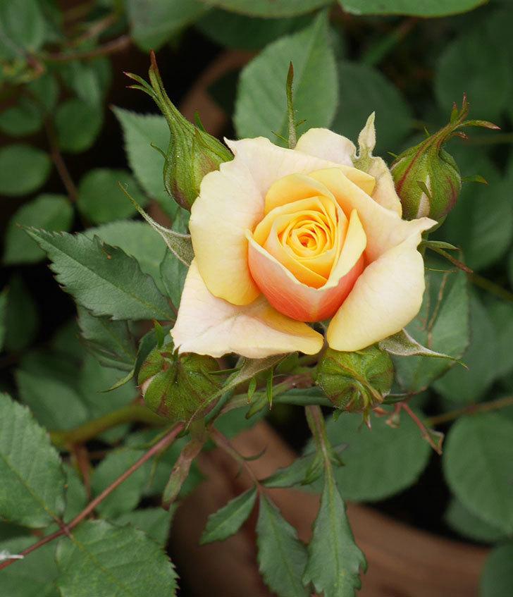 ライズンシャイン(ミニバラ)の花が少し咲いた。2020年-5.jpg