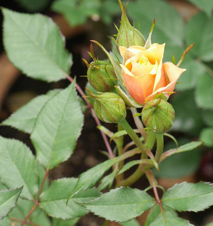 ライズンシャイン(ミニバラ)の花が少し咲いた。2020年-6.jpg