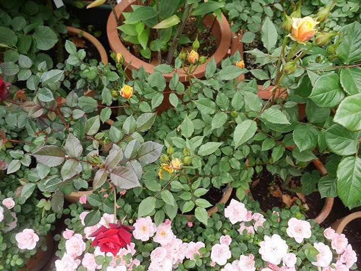 ライズンシャイン(ミニバラ)の花が少し咲いた。2020年-8.jpg