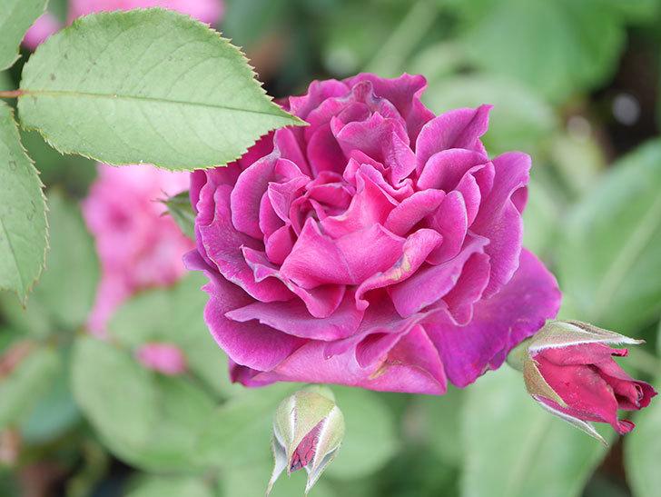 ライラ(Laylah)の2番花がたくさん咲いた。半ツルバラ。2020年-001.jpg