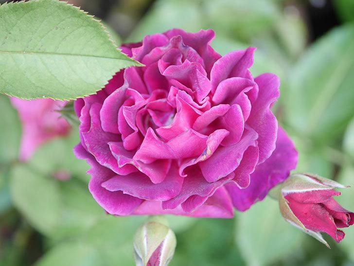 ライラ(Laylah)の2番花がたくさん咲いた。半ツルバラ。2020年-002.jpg