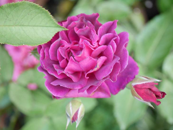 ライラ(Laylah)の2番花がたくさん咲いた。半ツルバラ。2020年-003.jpg