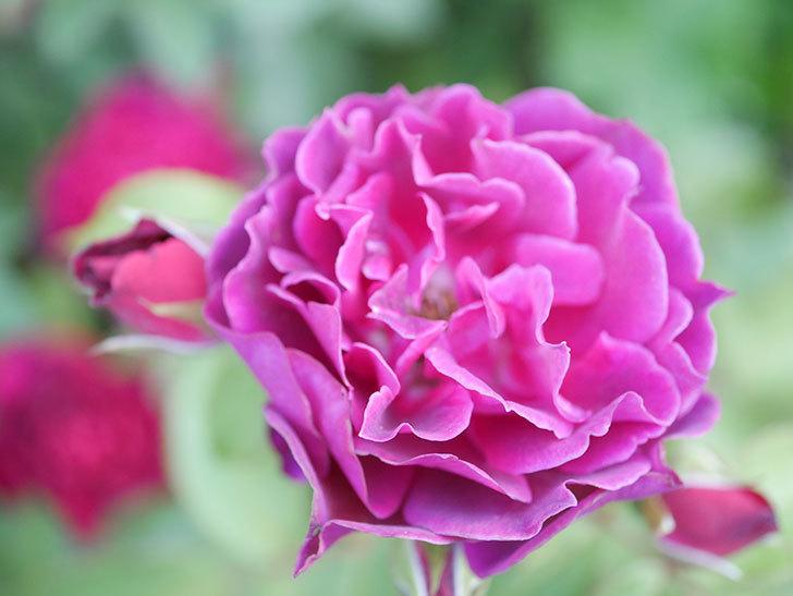 ライラ(Laylah)の2番花がたくさん咲いた。半ツルバラ。2020年-004.jpg