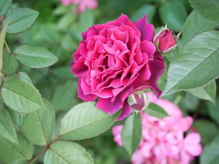 ライラ(Laylah)の2番花がたくさん咲いた。半ツルバラ。2020年-005.jpg