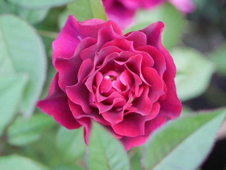 ライラ(Laylah)の2番花がたくさん咲いた。半ツルバラ。2020年-006.jpg