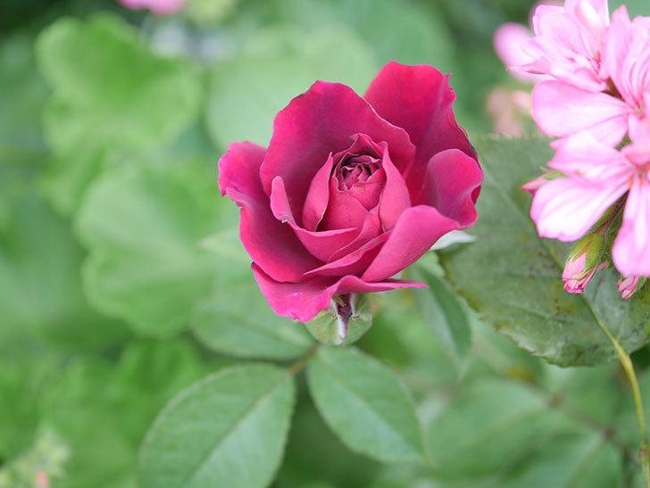 ライラ(Laylah)の2番花がたくさん咲いた。半ツルバラ。2020年-008.jpg