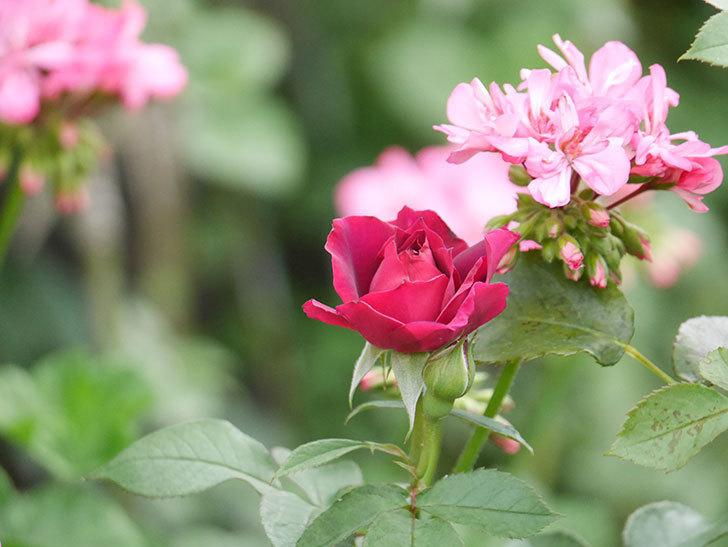 ライラ(Laylah)の2番花がたくさん咲いた。半ツルバラ。2020年-012.jpg