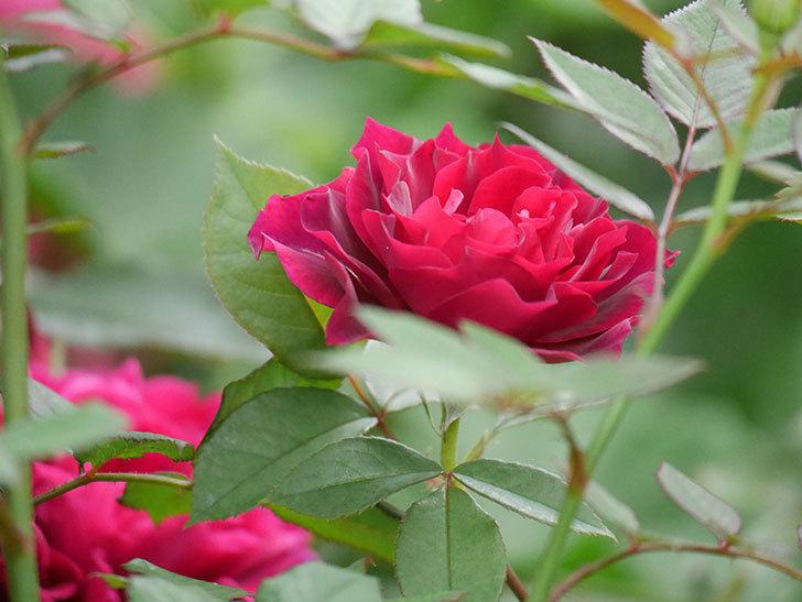 ライラ(Laylah)の2番花がたくさん咲いた。半ツルバラ。2020年-014.jpg