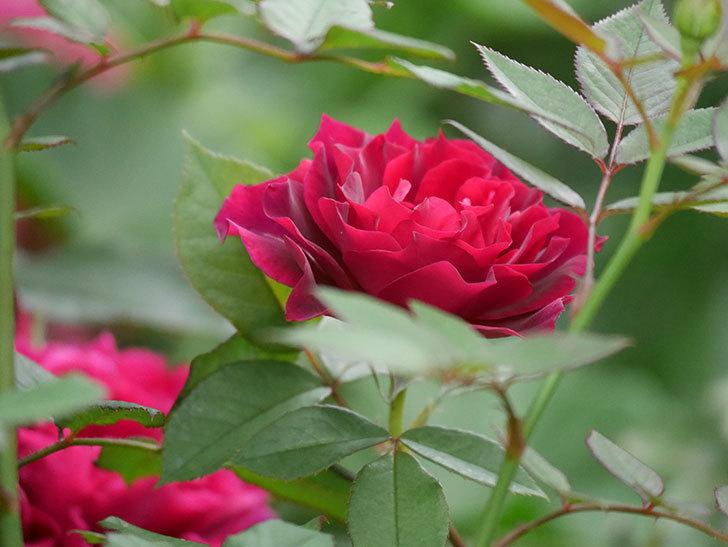 ライラ(Laylah)の2番花がたくさん咲いた。半ツルバラ。2020年-015.jpg