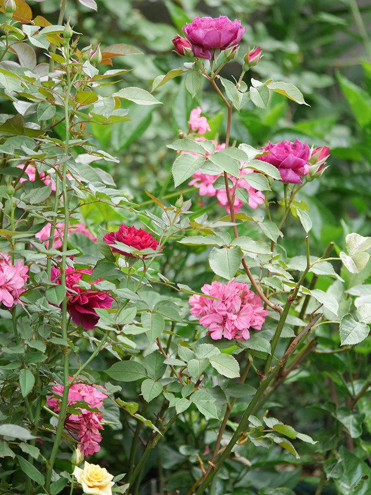 ライラ(Laylah)の2番花がたくさん咲いた。半ツルバラ。2020年-018.jpg