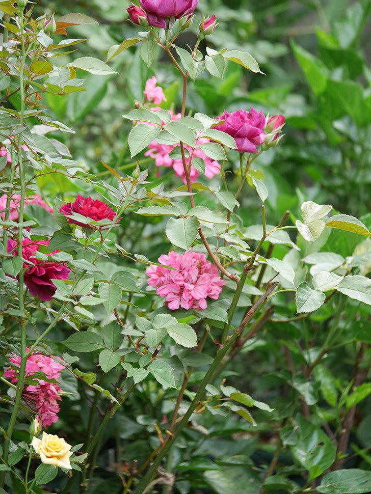 ライラ(Laylah)の2番花がたくさん咲いた。半ツルバラ。2020年-019.jpg