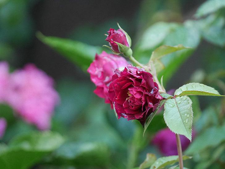 ライラ(Laylah)の2番花がたくさん咲いた。半ツルバラ。2020年-020.jpg