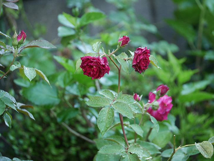 ライラ(Laylah)の2番花がたくさん咲いた。半ツルバラ。2020年-022.jpg