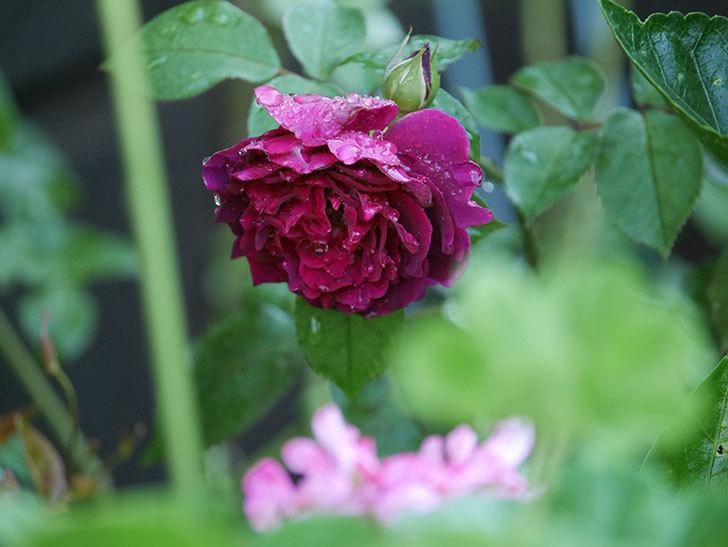 ライラ(Laylah)の2番花がたくさん咲いた。半ツルバラ。2020年-024.jpg