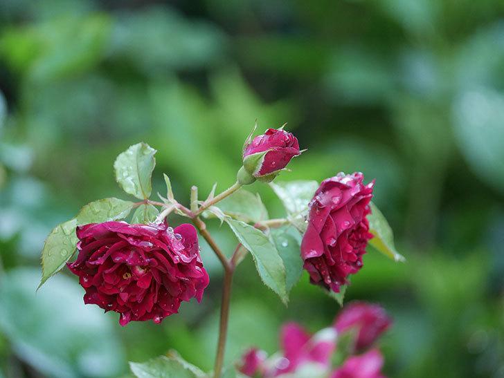 ライラ(Laylah)の2番花がたくさん咲いた。半ツルバラ。2020年-025.jpg