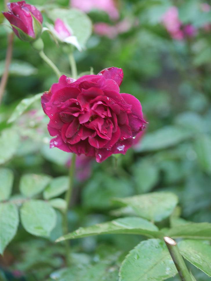 ライラ(Laylah)の2番花がたくさん咲いた。半ツルバラ。2020年-026.jpg