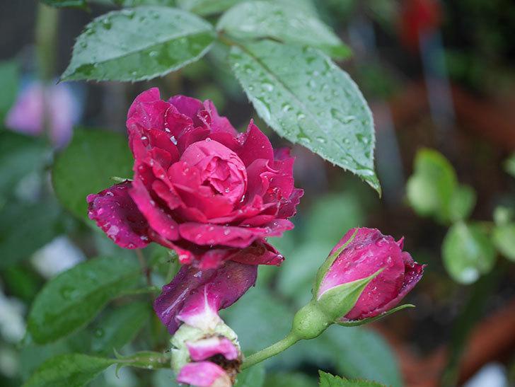 ライラ(Laylah)の2番花がたくさん咲いた。半ツルバラ。2020年-028.jpg