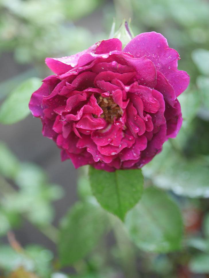 ライラ(Laylah)の2番花がたくさん咲いた。半ツルバラ。2020年-029.jpg