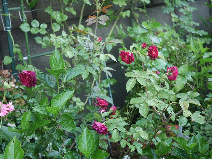 ライラ(Laylah)の2番花がたくさん咲いた。半ツルバラ。2020年-030.jpg