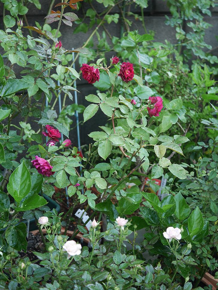 ライラ(Laylah)の2番花がたくさん咲いた。半ツルバラ。2020年-031.jpg