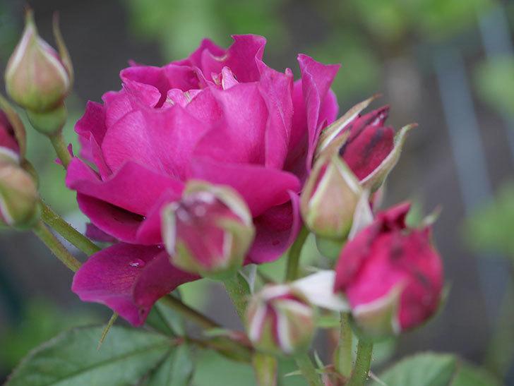 ライラ(Laylah)の2番花がまた咲いた。半ツルバラ。2020年-001.jpg