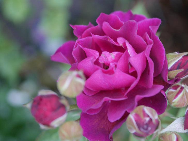 ライラ(Laylah)の2番花がまた咲いた。半ツルバラ。2020年-002.jpg