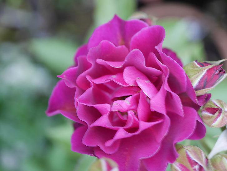 ライラ(Laylah)の2番花がまた咲いた。半ツルバラ。2020年-003.jpg