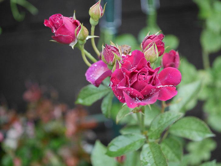 ライラ(Laylah)の2番花がまた咲いた。半ツルバラ。2020年-004.jpg