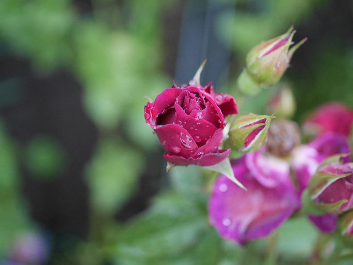 ライラ(Laylah)の2番花がまた咲いた。半ツルバラ。2020年-005.jpg