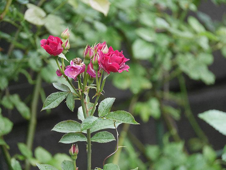 ライラ(Laylah)の2番花がまた咲いた。半ツルバラ。2020年-008.jpg