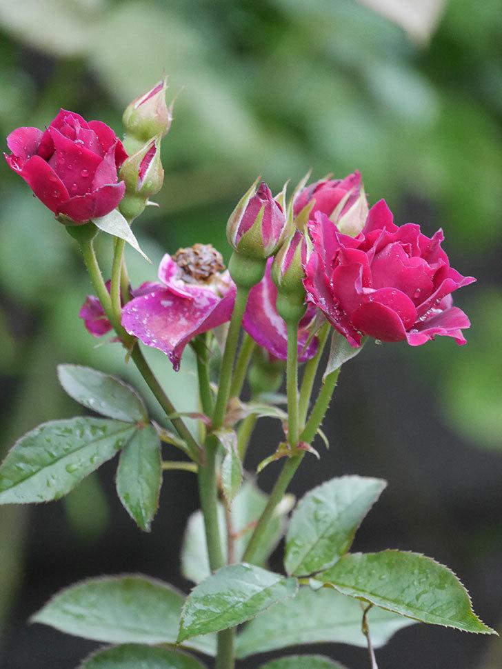 ライラ(Laylah)の2番花がまた咲いた。半ツルバラ。2020年-011.jpg
