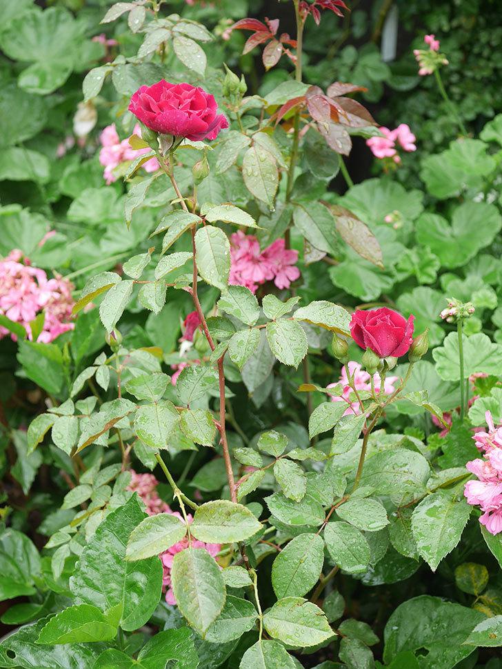 ライラ(Laylah)の2番花が咲いた。半ツルバラ。2020年-001.jpg