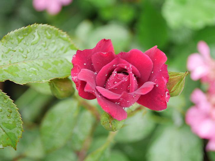 ライラ(Laylah)の2番花が咲いた。半ツルバラ。2020年-002.jpg