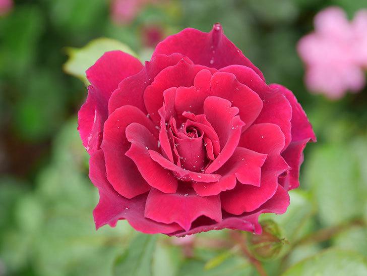 ライラ(Laylah)の2番花が咲いた。半ツルバラ。2020年-004.jpg