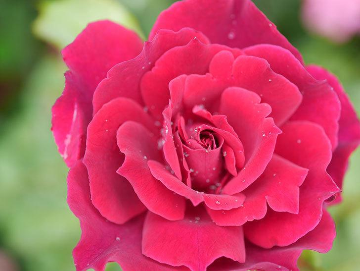 ライラ(Laylah)の2番花が咲いた。半ツルバラ。2020年-005.jpg