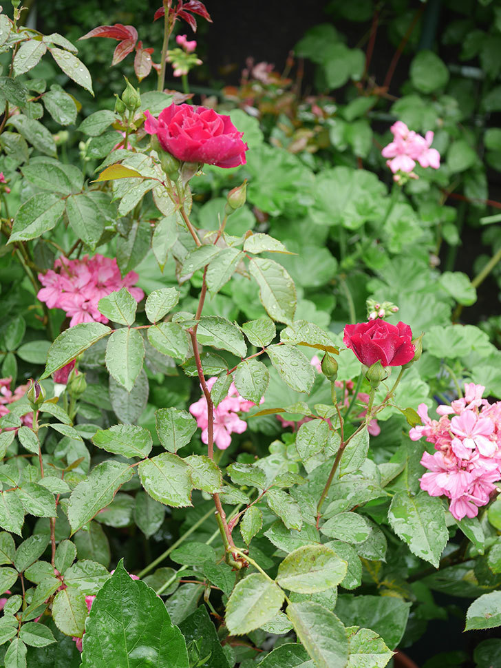 ライラ(Laylah)の2番花が咲いた。半ツルバラ。2020年-006.jpg
