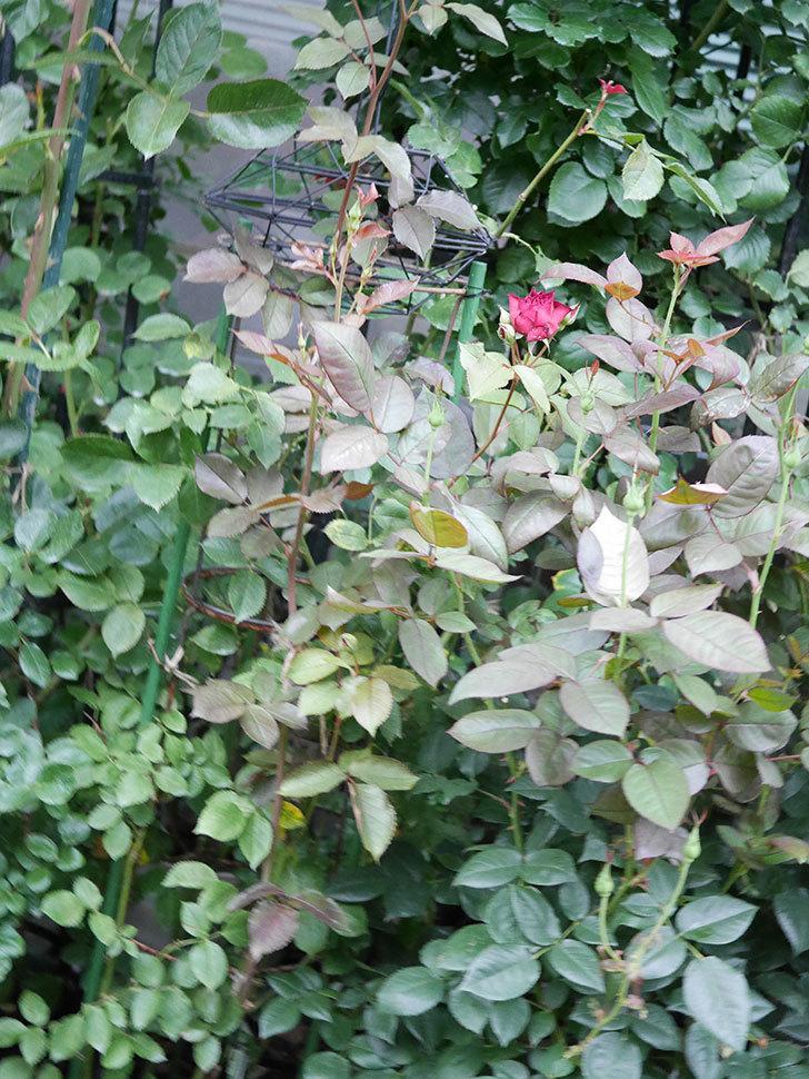 ライラ(Laylah)の2番花が咲いた。半ツルバラ。2021年-008.jpg