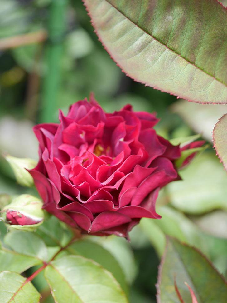 ライラ(Laylah)の2番花が咲いた。半ツルバラ。2021年-014.jpg