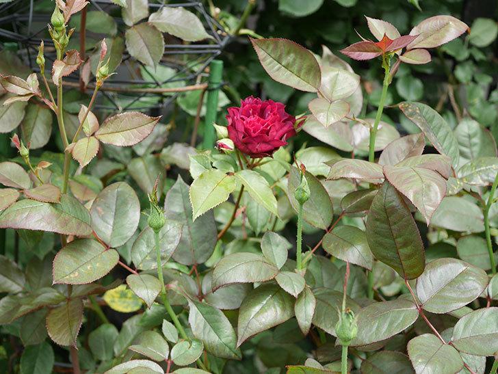 ライラ(Laylah)の2番花が咲いた。半ツルバラ。2021年-015.jpg