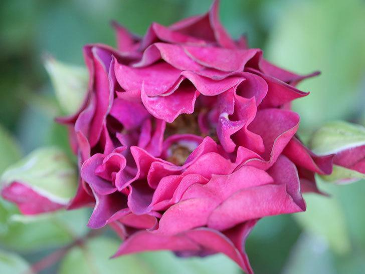 ライラ(Laylah)の2番花が咲いた。半ツルバラ。2021年-020.jpg