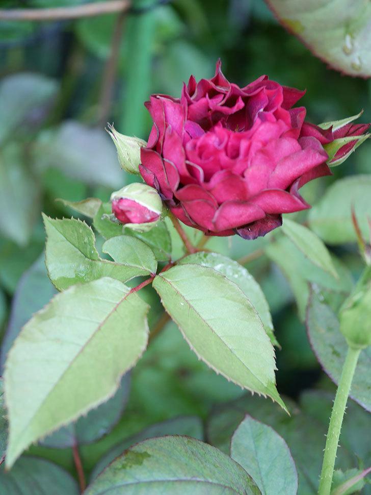 ライラ(Laylah)の2番花が咲いた。半ツルバラ。2021年-022.jpg