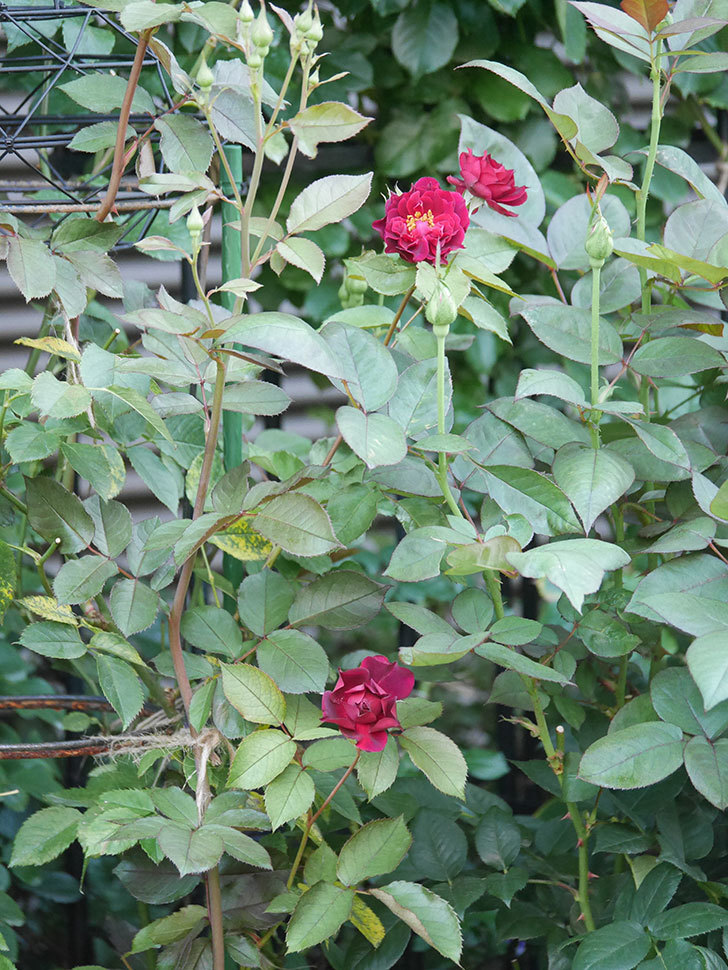 ライラ(Laylah)の2番花が咲いた。半ツルバラ。2021年-026.jpg