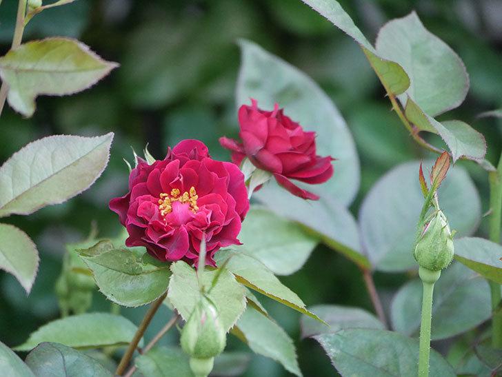 ライラ(Laylah)の2番花が咲いた。半ツルバラ。2021年-027.jpg