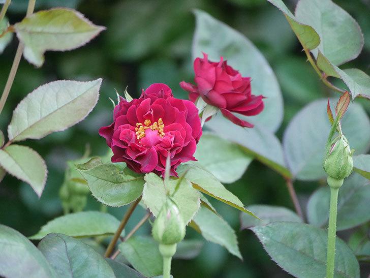 ライラ(Laylah)の2番花が咲いた。半ツルバラ。2021年-028.jpg